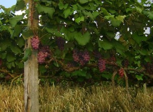 Uvas produzidas na Adega Negrini