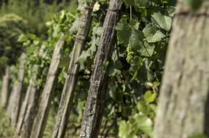 Plantação de Uvas na Adega do Português