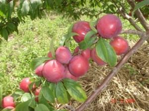 Cultivo de diversas frutas na Chácara São Vicente