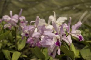 Orquídeas no Viveiro Terra Nova