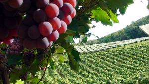 As tradições ancestrais, como a uva, também são valorizadas no turismo